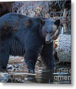 Where's That Cub? Metal Print