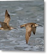 Whimbrels Flying Above Beach Metal Print