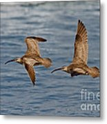Whimbrels Flying Close Metal Print