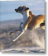 Whippet Dogs Fighting Metal Print