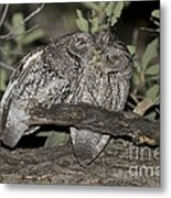 Whiskered Screech Owls Metal Print