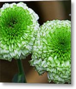 White And Green Mum Flowers Metal Print
