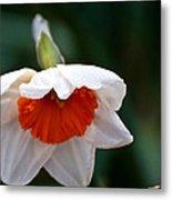 White And Orange Daffodil Metal Print