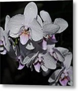 White And Pale Pink Phalaenopsis  165 Metal Print