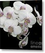White And Pale Pink Phalaenopsis   9920 Metal Print