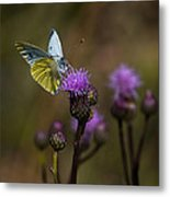 White And Yellow Butterfly On Thistl Metal Print