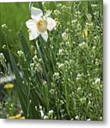 White And Yellow Daffodil Metal Print
