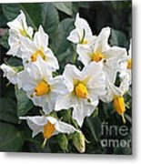 Garden Blossoms White And Yellow Garden Blossoms Metal Print