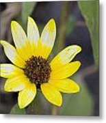 White And Yellow Sunflower Metal Print