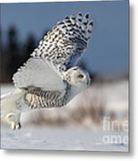 White Angel - Snowy Owl In Flight Metal Print by Mircea Costina Photography