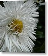 White Bachelor Buttons Metal Print