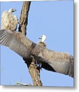 White-backed Vultures Metal Print