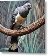 White-bellied Go-away-bird Metal Print