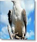 White-bellied Sea Eagle Metal Print