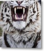 White Bengal Tiger At Forestry Farm Metal Print