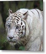White Bengal Tiger Metal Print