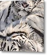 White Bengal Tigers, Forestry Farm Metal Print