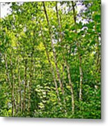 White Birch Along Rivier Du Nord Trail In The Laurentians-qc Metal Print