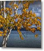 White Birch Tree In Autumn Along The Shore Of Crystal Lake Metal Print