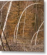 White Birch Trees In The Brown And Orange Forest Metal Print