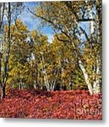 White Birches Of Fall Metal Print