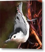 White-breasted Nuthatch - Classic Pose Metal Print