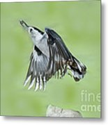White-breasted Nuthatch Flying With Food Metal Print