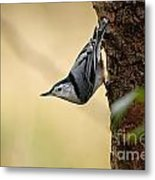 White-breasted Nuthatch Pictures 46 Metal Print