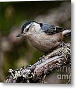 White-breasted Nuthatch Pictures 47 Metal Print