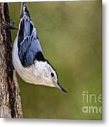 White-breasted Nuthatch Pictures 52 Metal Print