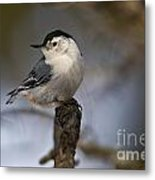 White-breasted Nuthatch Pictures 60 Metal Print