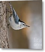 White-breasted Nuthatch Pictures 88 Metal Print