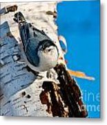 White-breasted Nuthatch Pictures 95 Metal Print