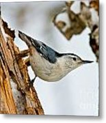 White-breasted Nuthatch Pictures 97 Metal Print