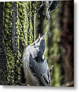 White Breasted Nuthatchs Metal Print