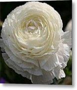 White Buttercup - Ranunculus Metal Print