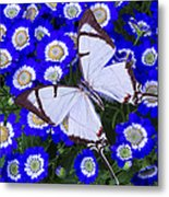 White Butterfly On Blue Cineraria Metal Print