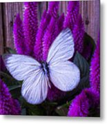 White Butterfly On Flowering Celosia Metal Print