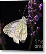 White Butterfly On Lavender Against A Black Background Metal Print