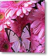 White Butterfly On Pink Gerbera Daisies Metal Print