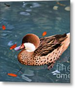 White-cheeked Pintail Metal Print