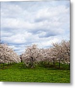 White Cherry Blossom Field In Maryland Metal Print by Susan Schmitz