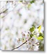 White Cherry Blossom Flowers  Metal Print