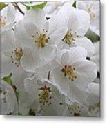 White Cherry Blossoms Metal Print