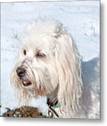 White Coton De Tulear Dog In Snow Metal Print
