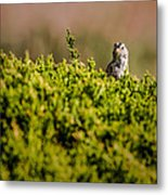 White-crowned Sparrow In A Bush Metal Print