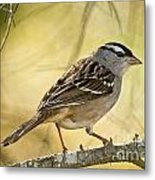 White-crowned Sparrow Pictures 63 Metal Print
