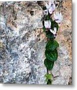 White Cyclamen Flowers Metal Print