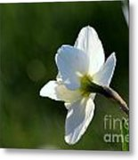 White Daffodil Rear Profile Metal Print