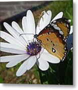 White Daisy And Butterfly Metal Print